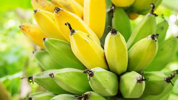 Ya en la década de 1950 el hongo casi exterminó la especie de banana más popular por entonces, la Gros Michel.(Getty)