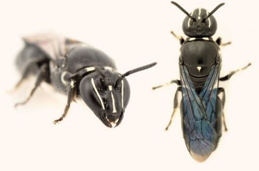 """Pharohylaeus lactiferus o Abeja """"enmascarada"""""""