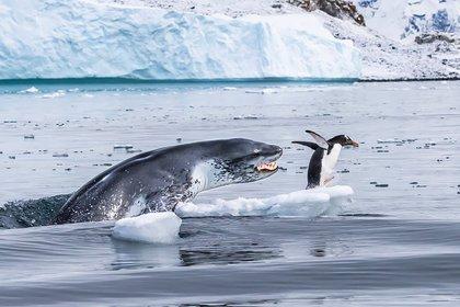 Un pingüino papúa huye para salvar su vida cuando una foca leopardo sale del agua en la isla de Cuverville, en la Antártida (Eduardo Del Álamo/Fotógrafo de Vida Silvestre del Año)
