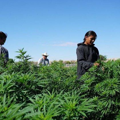 Dineh Benally en uno de sus campos de cannabis. Foto: Facebook