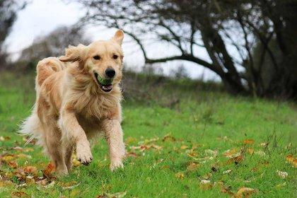 Golden Retriever (Foto: Shutterstock)