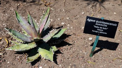 Agave quiotepecensis (Foto: UNAM)