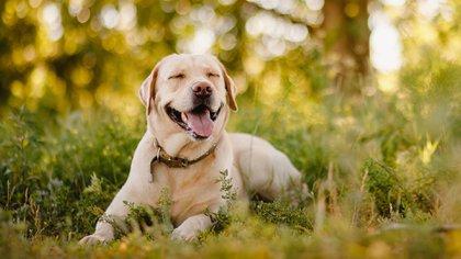 Algunos de los trabajos comunes de un laboratorio es ser un perro guía (Shutterstock.com)