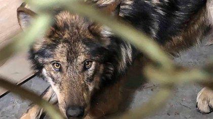 El lobo es un can que no abandonó la infancia (Foto: Facebook@GobTlaxcala)