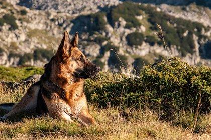 El ovejero alemán, una raza cuyo origen se remonta a 1899, forma parte del grupo de perros de pastoreo