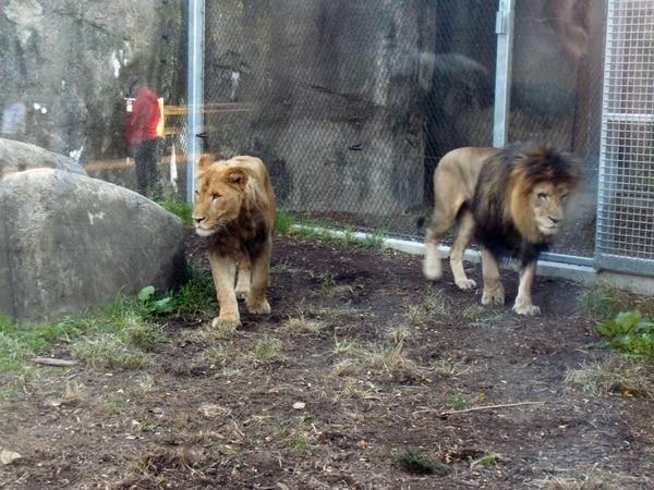 Resultado de imagen para Una leona mató al padre de sus tres cachorros en un zoológico de Indianápolis