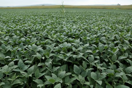 El precio internacional de la soja sigue en racha positiva. (REUTERS/Gary Cameron)