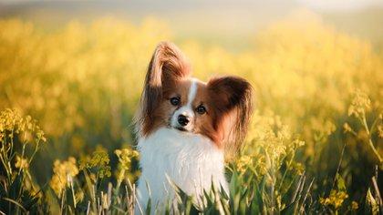 Son una de las mascotas más queridas por los jueces de obediencia (Shutterstock.com)