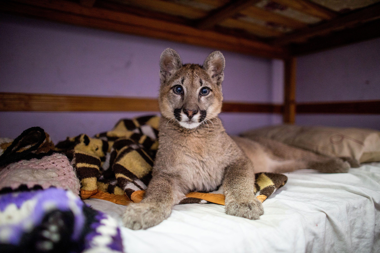 """Una cachorra de puma de 6 meses vivía como """"mascota"""" en una casa del barrio de Mataderos. La llevaron al zoológico privado Temaikén. (Tomás F. Cuesta / GCBA)"""