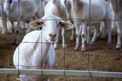 La NOM vigente establece que la crianza y matanza de animales de consumo debe realizarse en condiciones salubres.  (Foto: archivo)