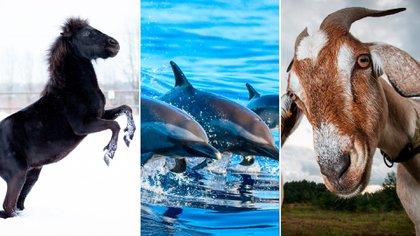 Caballos, delfines y cabras, entre los mamíferos que pueden infectarse con el virus SARS-CoV-2 (Shutterstock)