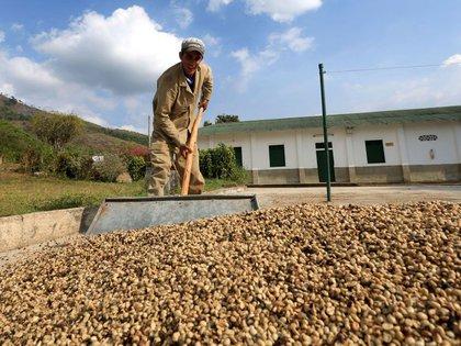 Foto de archivo. Un trabajador esparce café para el secado cerca a Pueblo Bello, en el departamento de CesaR, Colombia, 29 de enero, 2014.  REUTERS/José Miguel Gómez