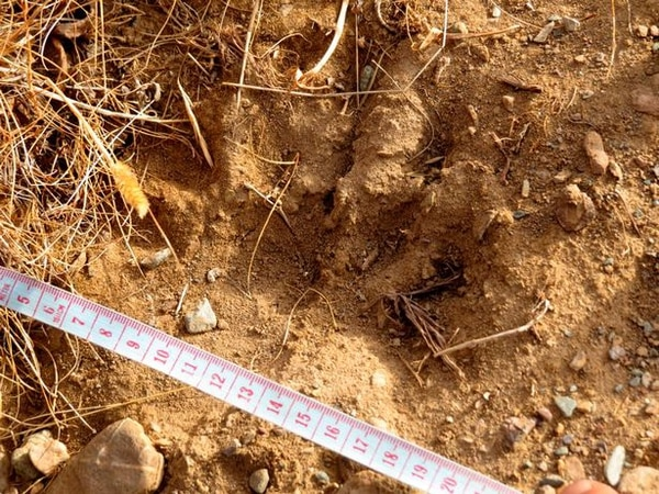 Huellas del oso tras un supuesto avistamiento en 2015 (Kaichi Travel/The Siberian Times)