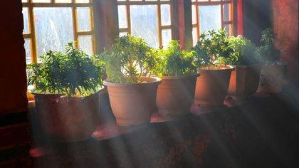 Chequear que las plantas de interior no queden expuestas a cambios de temperatura muy bruscos