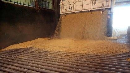 El precio de la soja sigue su racha positiva en el mercado de Chicago (REUTERS/Agustin Marcarian)