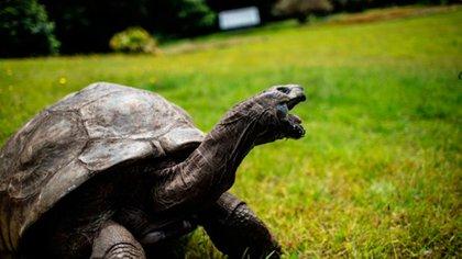 Jonathan, una tortuga gigante de las Islas Seychelles, se cree que es el reptil más viejo de la tierra con 186 años de edad. (AFP)