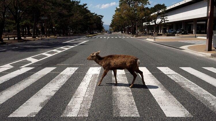 En grandes ciudades de las naciones más pobladas del mundo se pudieron ver curiosas postales de animales silvestres recorriendo las urbes, combinadas con una visible baja en los niveles de smog (AP Photo/Jae C. Hong)