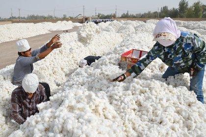 Trabajadores chinos durante la cosecha del algodón en Xinjiang