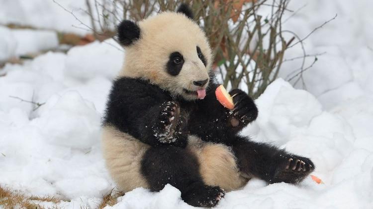 En las instalaciones de Chengdu viven 184 pandas gigantes y pandas rojos. (Shutterstock)