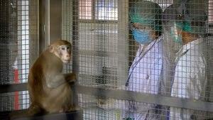 """Cómo es la """"súper vacuna"""" que sería efectiva contra los coronavirus y sus variantes y que ya fue probada en monos"""