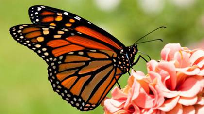 Actualmente se tienen nueve colonias de mariposa monarca entre los diferentes santuarios que dan cobijo al invertebrado