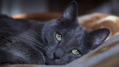 El Azul Ruso es una de las razas de gato doméstico más antiguas y populares del mundo