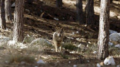 Un ejemplar de lobo ibérico en semilibertad en el Centro del Lobo Ibérico, en Robledo, Zamora, España (EFE/J.J. Guillén/Archivo)