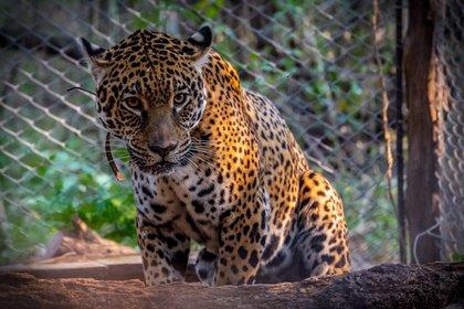 Tania, la hembra jaguar nacida en cautiverio, en el Parque Nacional El Impenetrable, provincia de Chaco (EFE/Matias Rebak/Fundación Rewilding)