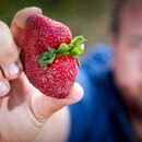 Braetop Berries strawberry farmer Aidan Young holds a strawberry on his farm in the Glass House Mountains in Queensland on September 20, 2018. A nationwide scare involving the piercing of supermarket strawberries with sewing needles has prompted a series of supermarket recalls, and some stores in New Zealand have temporarily banned the sale of Australian strawberries. / AFP PHOTO / Patrick HAMILTON