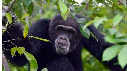 Ponso, el único sobreviviente de una colonia de 20 chimpancés, cerca de Grand Lahou, en Costa de Marfil, el 18 de agosto de 2017 (AFP)