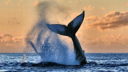 <div>Ballena jorobada en Lahaina, Hawaii</div> Susan Metz / National Geographic Photo Contest 162