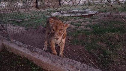 La FGR aseguró leona y dos tigres de bengala en Sonora (Foto: FGR)