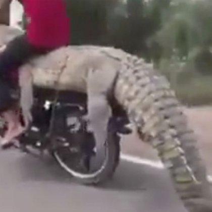 Jóvenes roban cocodrilo de Sinaloa (Foto: Captura de pantalla/Twitter/@monicaromero20)