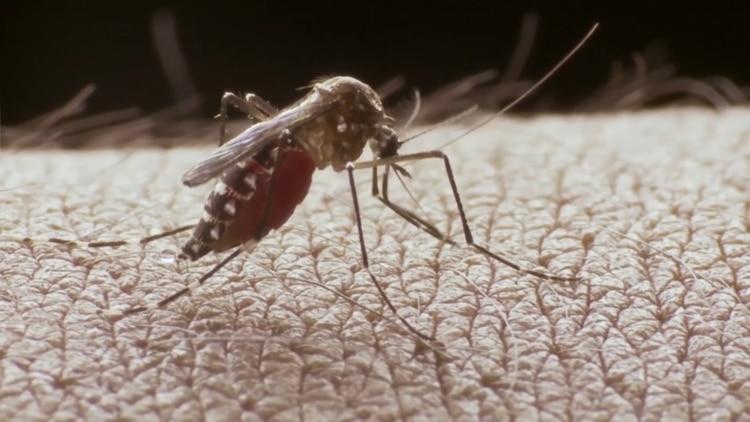 El mosquito Aedes aegypti está presente todo el año en las provincias del centro y norte de Argentina (shutterstock)