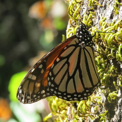 Despite their toxic nature, Monarch butterflies are consumed by some predators and parasites (Photo: CONANP)