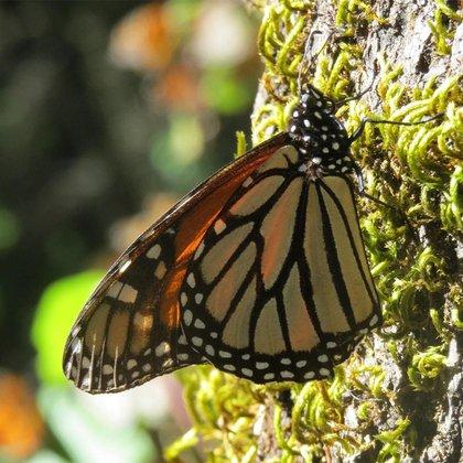 A pesar de su carácter tóxico, las mariposas Monarca son consumidas por algunos depredadores y parásitos (Foto: CONANP)