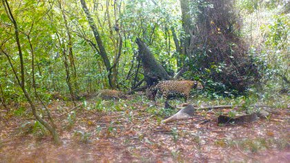 Una cámara trampa muestra a los ejemplares de yaguareté en libertad