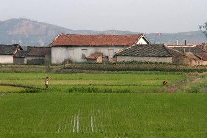 Una granja norcoreana en los campos de arroz de la isla de Hwanggumpyong, ubicada en medio del río Yalu, cerca de la ciudad norcoreana de Sinuiju, frente a la ciudad fronteriza china de Dandong, provincia de Phyongan del Norte, Corea del Norte.  19 de junio de 2015. (REUTERS / Jacky Chen / Foto de archivo)