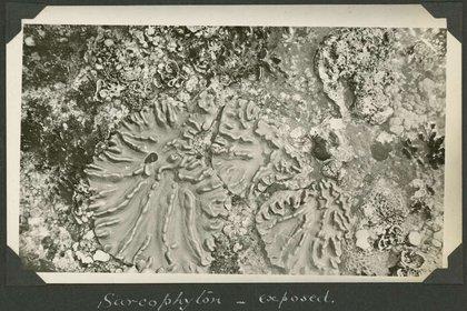 Una imagen de sarcophyton (un coral blando) expueto, tomada durante la Expedición 1928. (CM Yonge/Biblioteca Nacional de Australia)