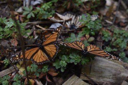 Homero Gómez ha luchado por la preservación de los bosques en Michoacán, así como la defensa de las condiciones laborales de quienes se dedican a los trabajos de conservación de la biósfera de la mariposa monarca. (Foto: Artemio Guerra Baz/Cuartoscuro)