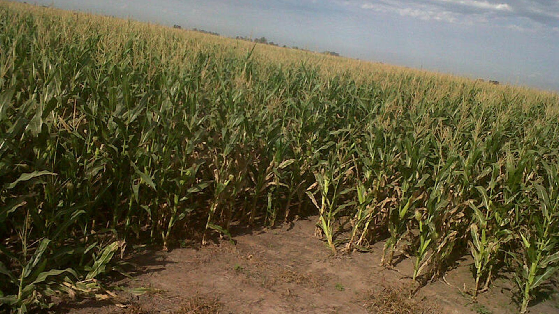 Las últimas precipitaciones también fueron importantes para el maíz
