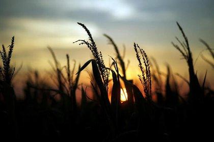 Foto de archivo de una plantación de maíz cerca de la localidad de Rafaela, en Argentina.  Abril 9, 2018. REUTERS/Marcos Brindicci