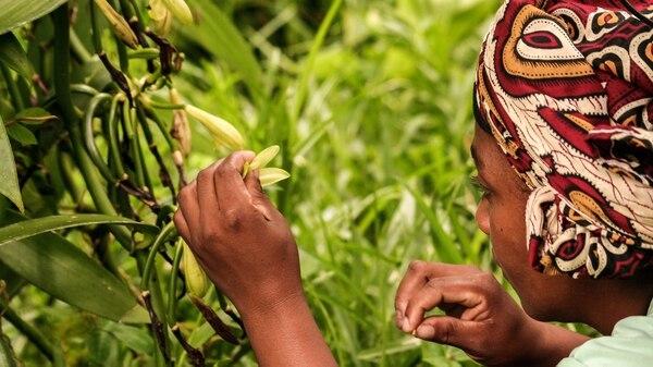 Al participar en el Foro Campesino que organizó la universidad, el especialista pidió a las autoridades incrementar la seguridad en el campo mexicano para proteger los cultivos de vainilla, que tardan hasta tres años en producir.