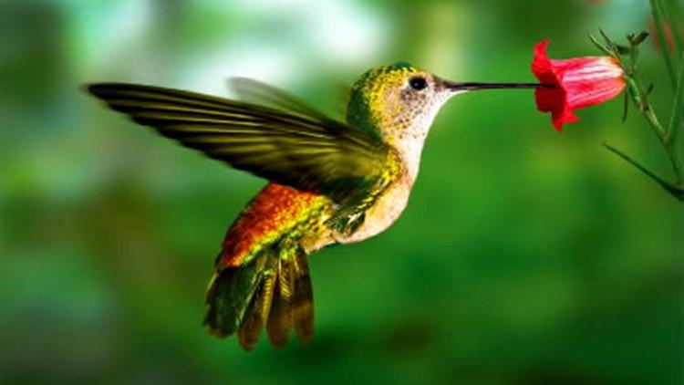 La miel que deja en las flores atrae a otros colibríes (Foto: Conabio)