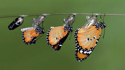 En México se espera que haya buenos resultados en la población de mariposas (IStock)