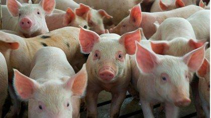 Empresas chinas podrían invertir 27.000 millones de dólares para potenciar el sector porcino de Argentina.