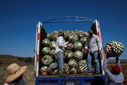 Imagen de archivo de jimadores cargando un camión con piñas de agave azul tras su cosecha en Tequila, Jalisco, México. 13 abril 2018. REUTERS/Carlos Jasso