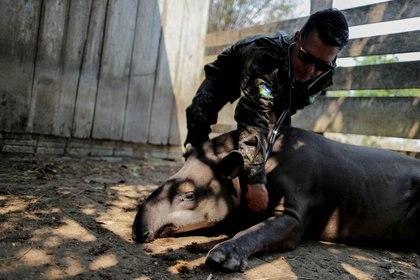 Foto de archivo del veterinario Marcelo Andreani examinando a un tapir en un centro de atención animal cerca de Porto Velho, estado de Rondonia, en Brasil.  Ago 18, 2020.  REUTERS/Ueslei Marcelino