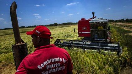 """Un trabajador con una camisa que dice """"Sembrando un país socialista"""" durante la cosecha en el estado de Guarico, Venezuela (Bloomberg)"""
