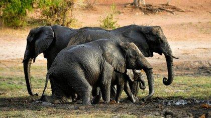 El fotógrafo Norman Watson denunció crueldad y abuso animal en el parque de Bandhavgarh en India(Foto: Archivo)